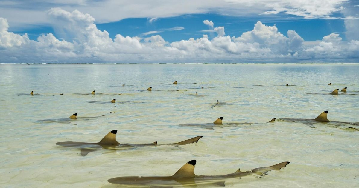 У теплій воді рифові акули чекають на приплив @ national geographic