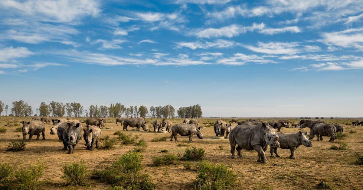 Ці носороги на південноафриканському ранчо ще нещодавно мали роги, проте  вони обрізані. На відміну від слонової кістки, роги носорога зростають наново при розрізанні належним чином @ national geographic