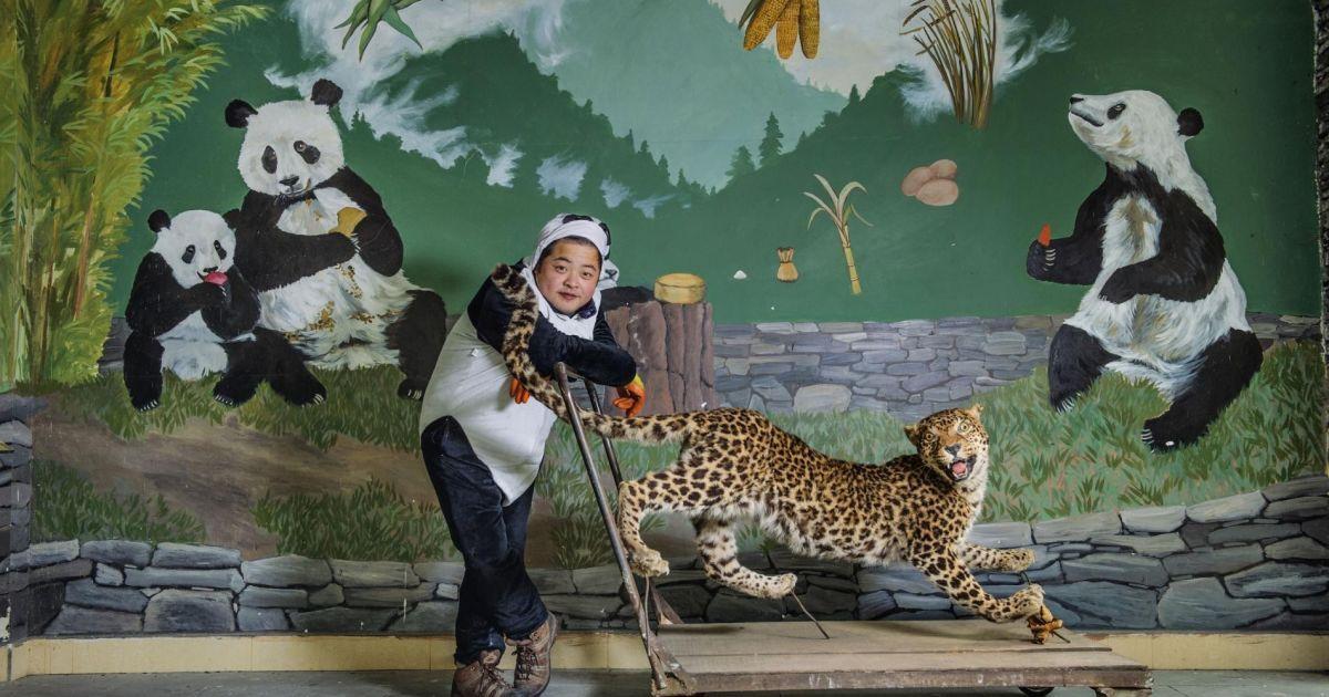 Працівник у костюмі панди в Китаї використовує опудало леопарда, щоб навчати молодих панд боятися їхнього найбільшого дикого ворога @ national geographic