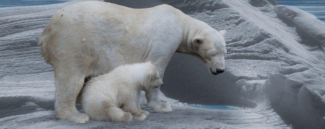 Секс у белых медведей