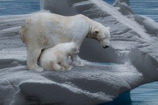На межі вимирання. Менше ніж через півстоліття популяція білих ведмедів знизиться на третину