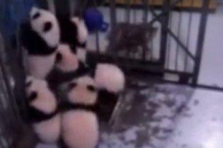 Милая попытка побега. В Сети показали, как маленькие панды вырывались на свободу