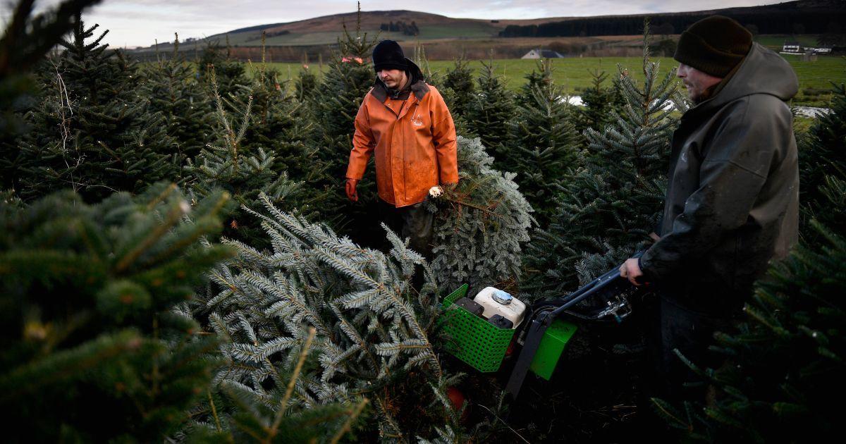 В лесах под Киевом усилили патрули против елочных браконьеров