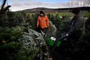 У лісах під Києвом посилили патрулі проти ялинкових браконьєрів