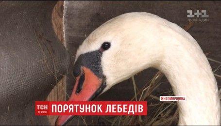 На Житомирщине спасли пару лебедей, которые примерзли ко льду на реке