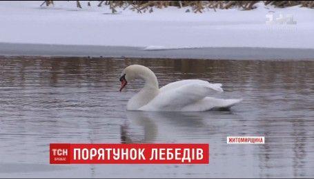 В плену льда: на Житомирщине пытаются спасти лебедей, пострадавших от морозов