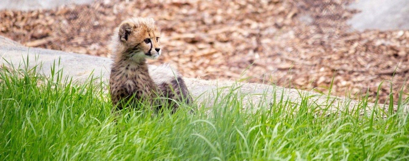 Пушистое пополнение: в одном из зоопарков США родилось сразу 10 гепардов