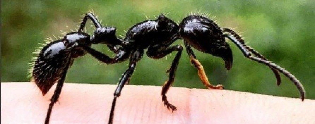 Учений випробував на собі лютий біль від укусу найбільш отруйної комахи у світі