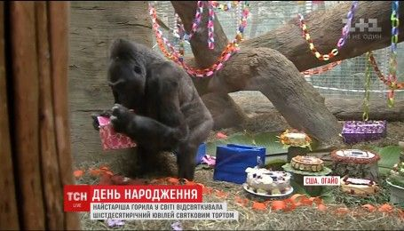 Самая старая горилла в мире отпраздновала юбилей