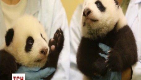 Новорожденных панденят-близнецов впервые показали публике в Китае