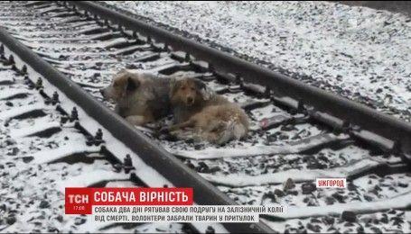 Пользователей Интернета тронуло видео, как собака спасает жизнь своей подруге