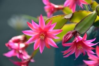 Как заставить кактус зацвести