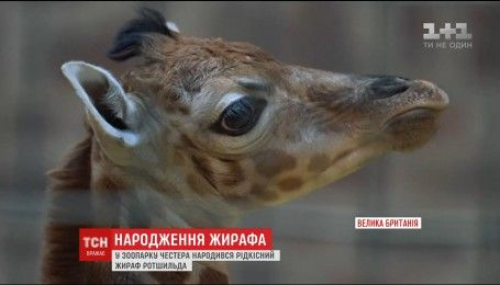 Рождественский подарок: в британском зоопарке родился жирафенок