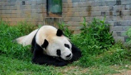 У Китаї помер найстаріший панда-самець