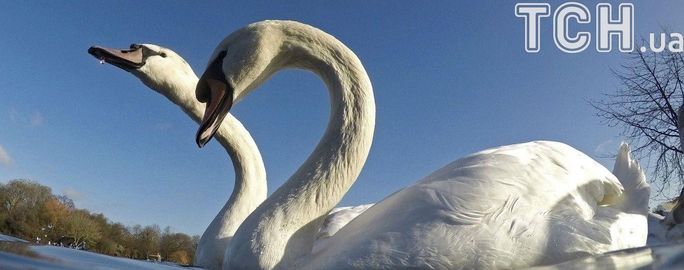 Під Одесу почали злітатися на зимівлю лебеді