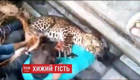 Леопард вдерся до житлового району індійського міста та поранив людину