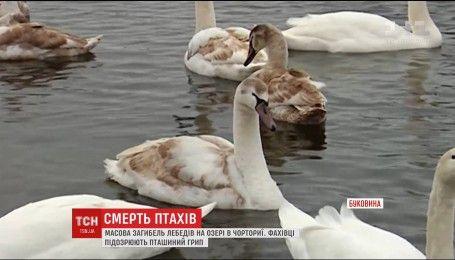 На Буковине массово гибнут лебеди