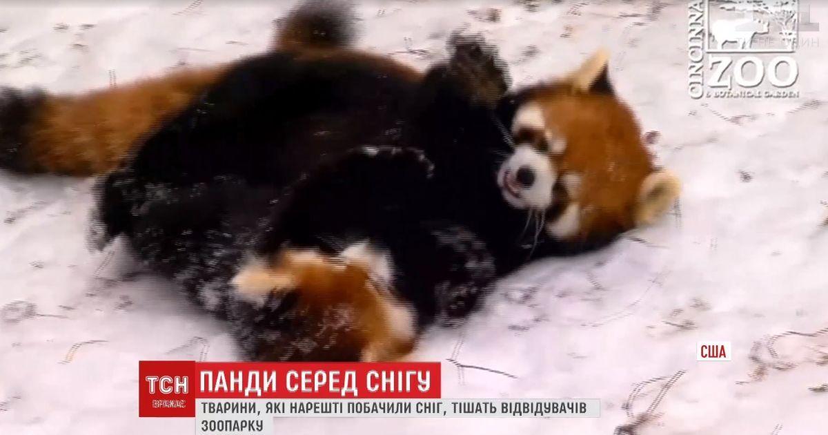 Панды в снегу. В США зверушки встретили холод веселыми играми
