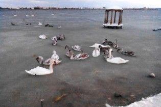 В Крыму около 100 лебедей вмерзли в лед на озере