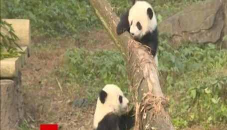 Полугодовые пандята-близнецы дебютировали в китайском зоопарке