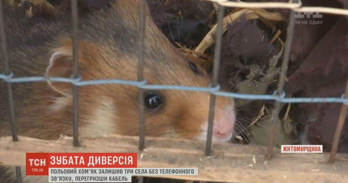 Полевой хомяк оставил без телефонной связи три села на Житомирщине