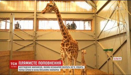 Милый жирафчик: в бельгийском зоопарке показали самого молодого жителя