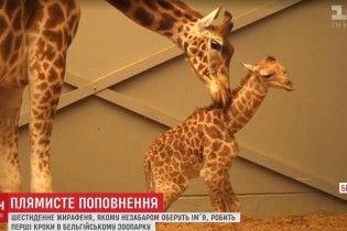 У бельгійському зоопарку народилося кумедне жирафеня
