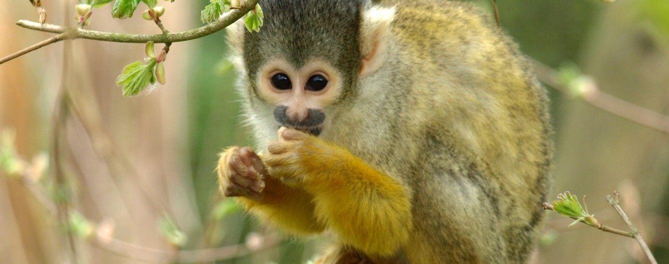 """Африканські приблуди: у Чорноморську """"гастролює"""" зграя мавпочок"""