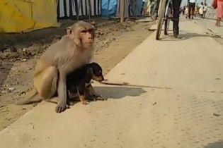 """В Індії турботлива мавпа """"усиновила"""" безпритульне цуценя"""