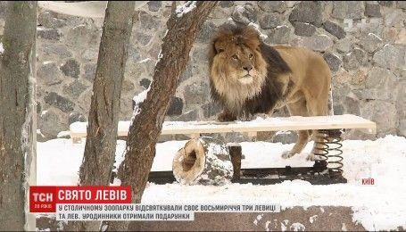 Поздравления и подарки: в столичном зоопарке отпраздновали 8-летие трех львиц и льва