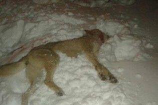 На Черниговщине на мужчину напал бешеный волк