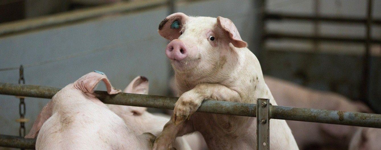 В мире предрекают глобальный дефицит свинины