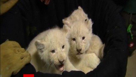 Білих рідкісних левенят вперше показали в німецькому зоопарку