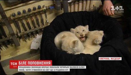 В Магдебургском зоопарке к посетителям впервые вышли белые львята