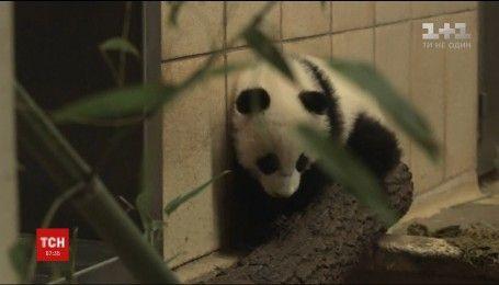 У віденському зоопарку своє півріччя святкують панди-близнюки