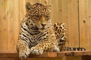 Защитить больших кошек: в Сети набирает популярность группа, которая спасла более двухсот животных