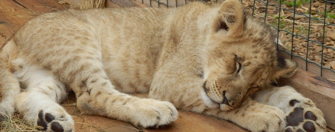 """На Чернігівщині працівниця зоопарку """"усиновила"""" новонароджене левеня, від якого відмовилася матір"""