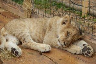 У дитсадок на Київщині привели маленького лева