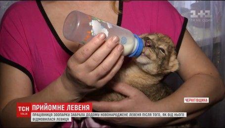 Работница зоопарка на Черниговщине забрала домой новорожденного львенка