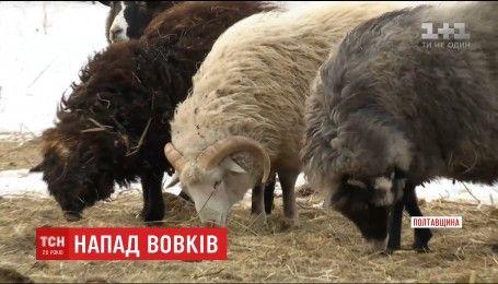 Вовчі зграї тероризують жителів сіл на Полтавщині