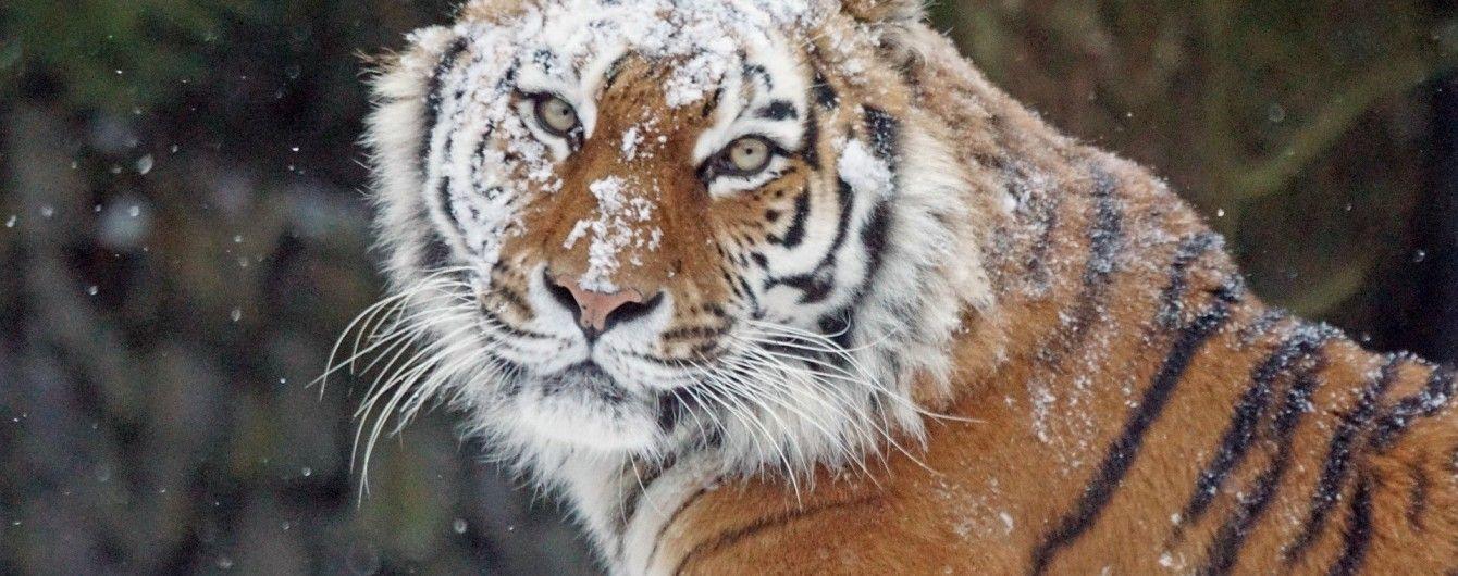В Китае мужчину насмерть растерзал тигр во время попытки бесплатно пробраться в зоопарк