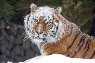 У Китаї чоловіка на смерть роздер тигр під час спроби безкоштовно пробратися до зоопарку