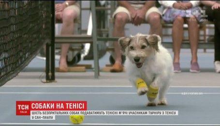 Шесть беспородных собак преподносить теннисные мячи участникам турнира в Сан-Паулу