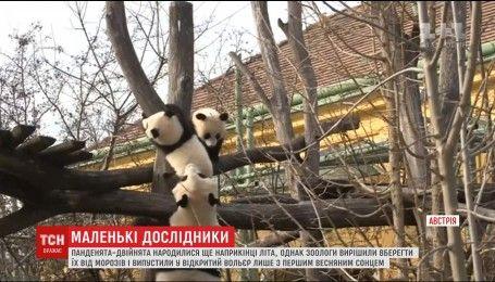 Впервые исследовать открытый вольер выпустили двойню панденят в Венском зоопарке