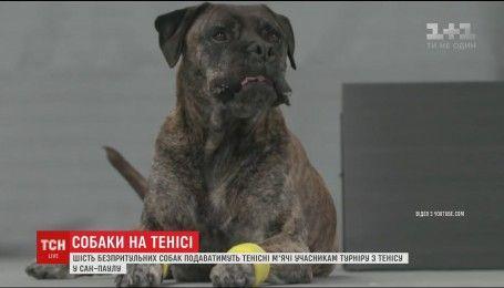 Беспризорные собаки будут преподносить мяч теннисистам на турнире в Бразилии