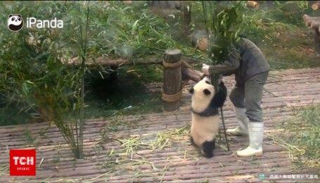 Антистресс на работе: как панденок веселил работников зоопарка
