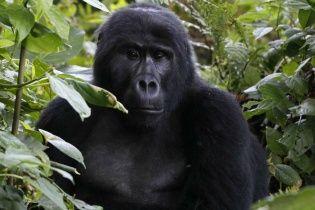 """Google Photos не выдает изображения по запросу """"горилла"""", чтобы избежать расистских ошибок"""