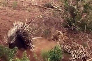 Колюча ситуація: дикобраз вправно врятувався від голодного леопарда