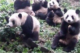 Момент відчаю: у Китаї спантеличена панда ледь знайшла їжу, яка лежала біля неї