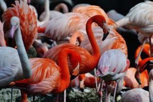 У чеському зоопарку маленькі діти до смерті забили камінням рожевого фламінго